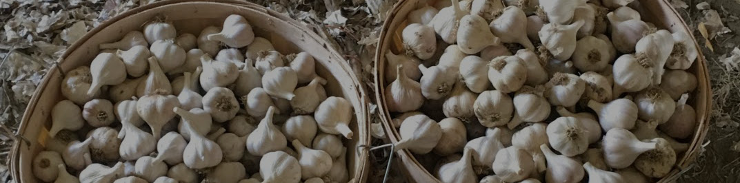 Garlic bulbs in basket